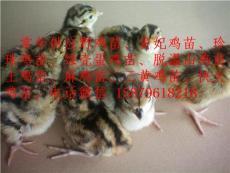 鷹潭貴妃雞種苗