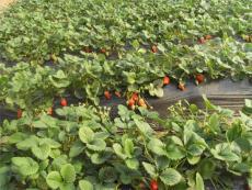 出售草莓小苗