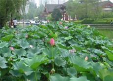 河南水生花卉應用前景日益看好